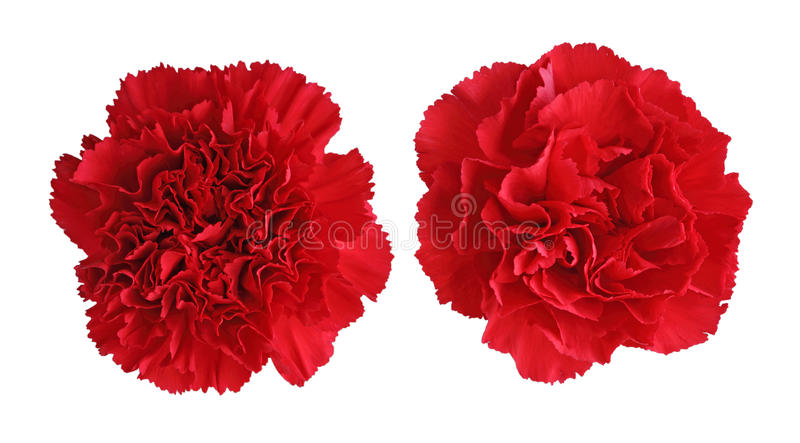 Red Carnation flowers stock images