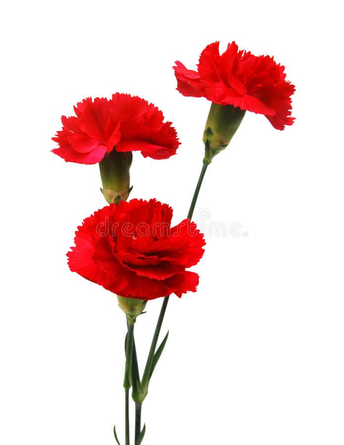 Red carnation flowers. On white background stock photo
