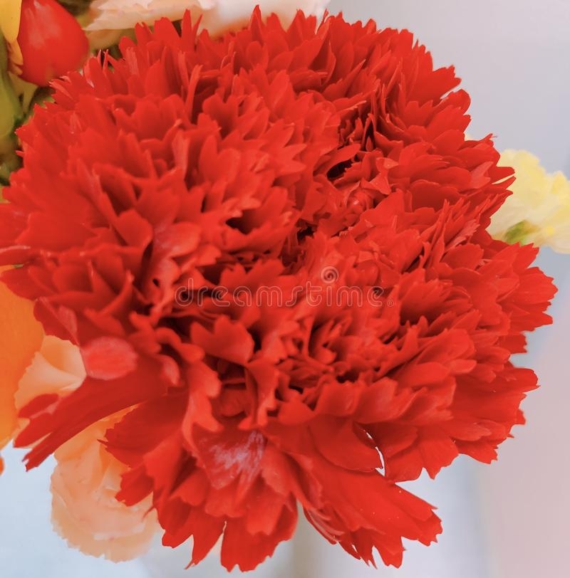 Red Carnation. Luscious Red Carnation royalty free stock photography
