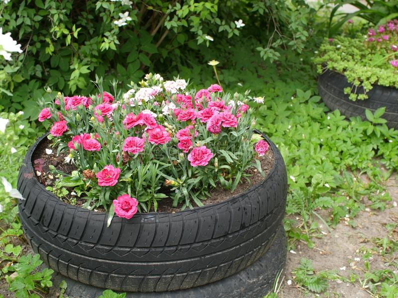 Red carnation in an old tire. Red carnation flowers cozy garden with flowerbeds from old car tires stock photos