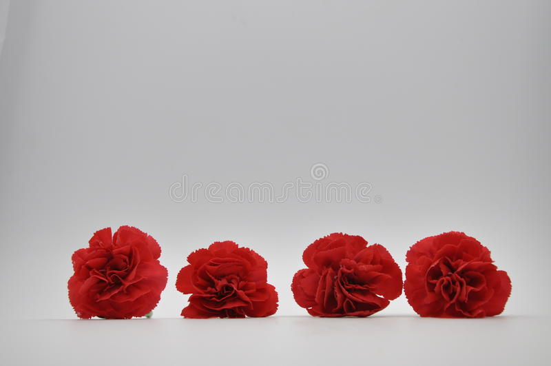 Red carnation. Red flowers with white background. Dianthus caryophyllus. Red carnation. Four red flowers with white background. Dianthus caryophyllus. Flowers royalty free stock photography