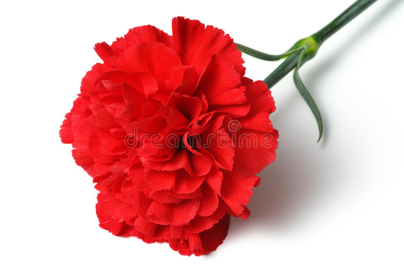 Red carnation on white background. (horizontal). Close up of red carnation stock photos