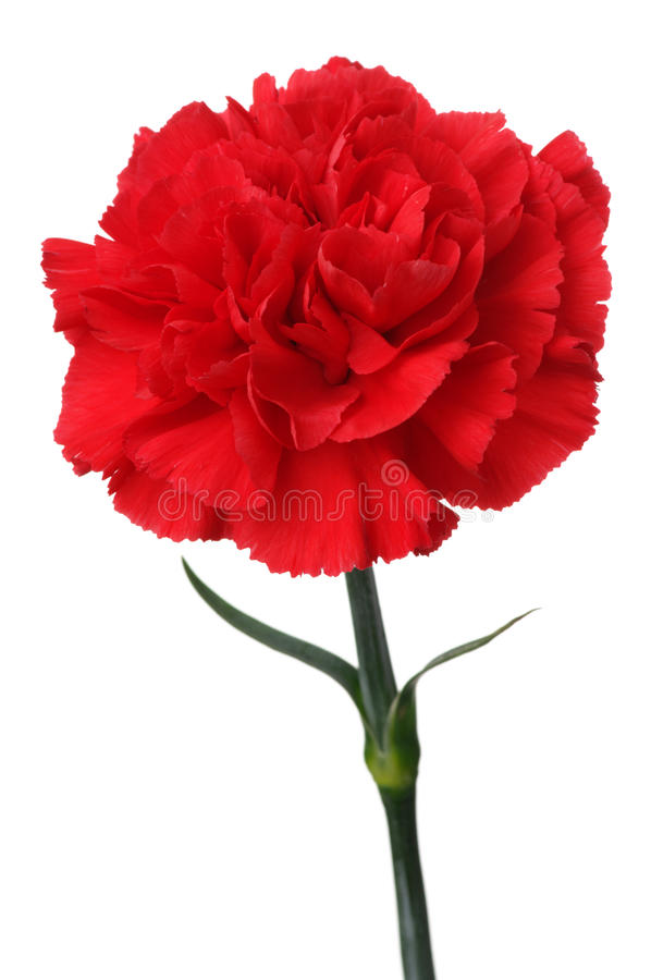 Red carnation on white background. (vertical). Close up of red carnation stock photography