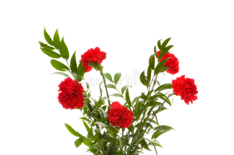 Red carnations isolated royalty free stock photography
