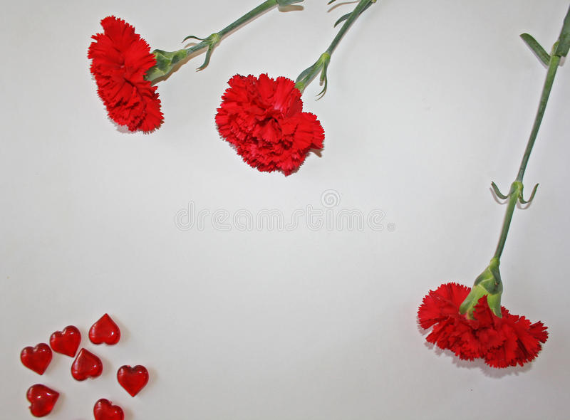 Red carnations on a white background stock photo
