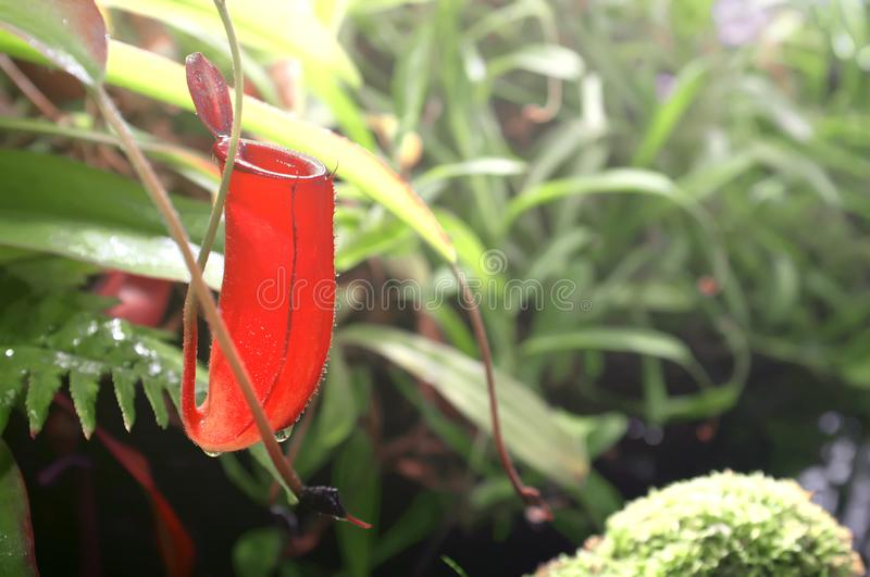 Red carnivorous plant nepenthes close-up. Tropical plant collection in orangery. Moscow State University botanical garden stock images