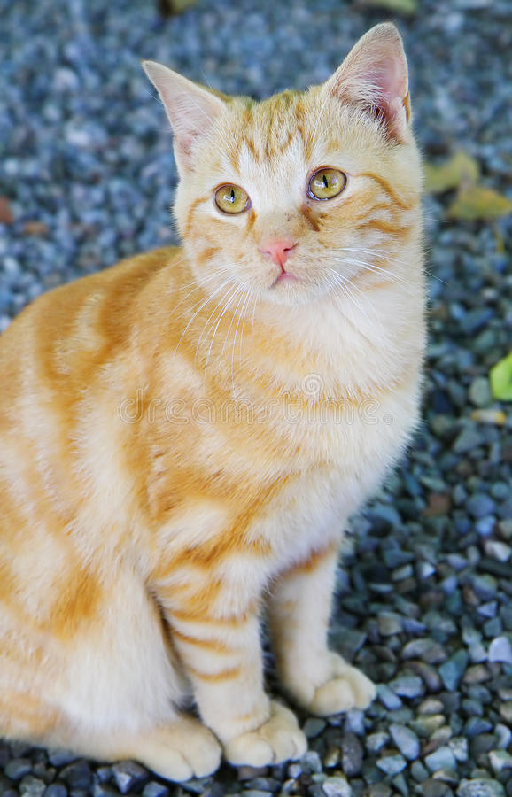 Red cat. A picture of a red cat royalty free stock photography