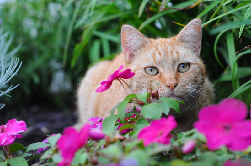 Red cat. Cat lies in the flowers stock image
