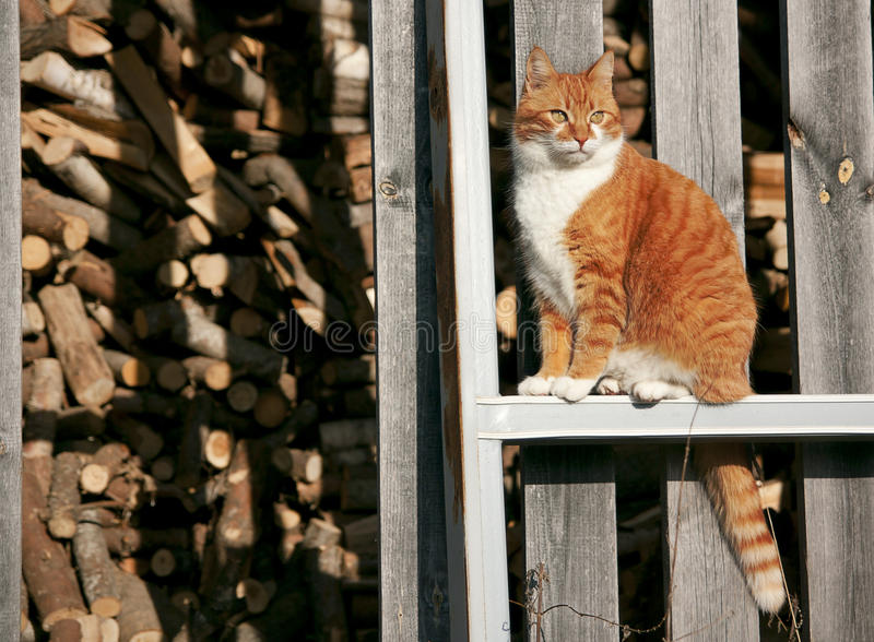 Download Red cat stock photo. Image of fence, neck, collar, firewood - 22579168