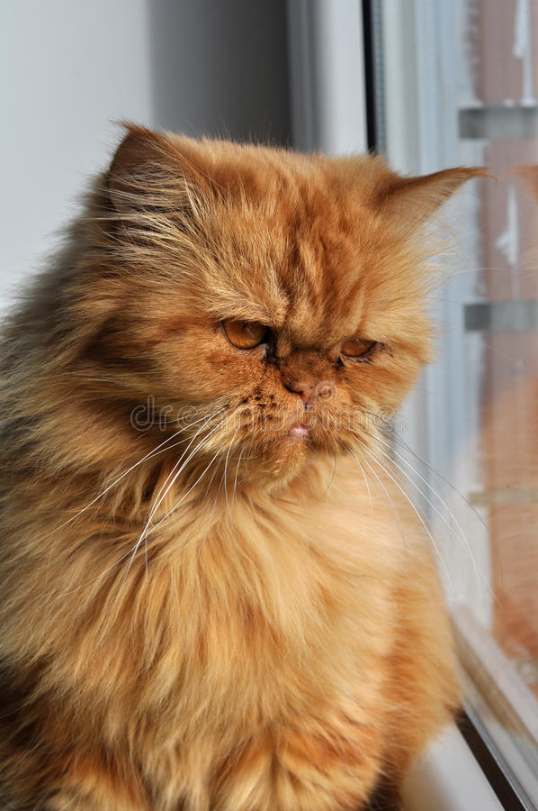 Download Red cat stock image. Image of fluffy, favorite, whiskers - 27008499