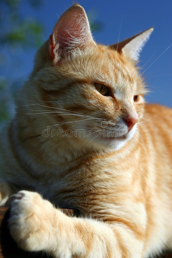 Red cat. The red cat sitting on a fence royalty free stock photos