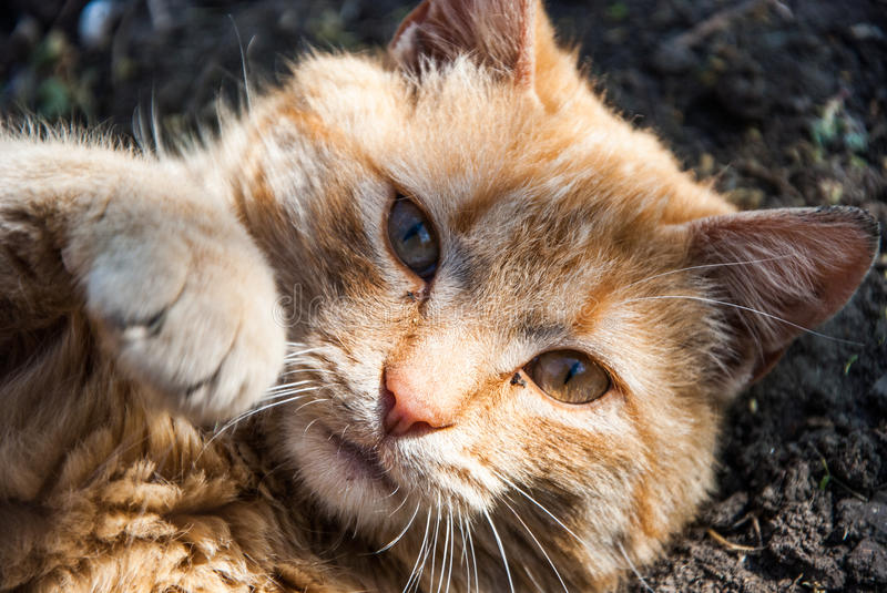 A red cat. The calm and cool red cat royalty free stock photography