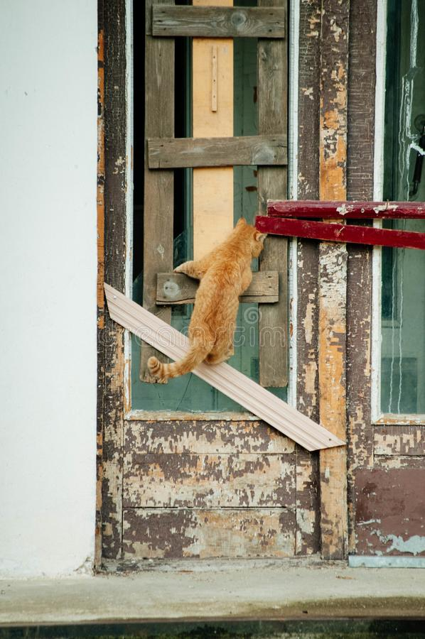 A red cat climbed the door. The red cat climbed up the wooden door and looked through the cracks in the building royalty free stock photography