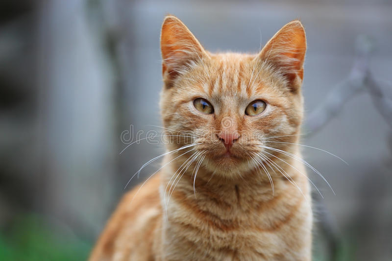 Download Red cat stock photo. Image of staring, looking, beard - 35649154