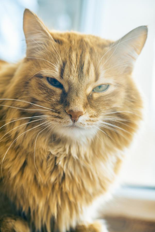 Red Cat Closeup royalty free stock images