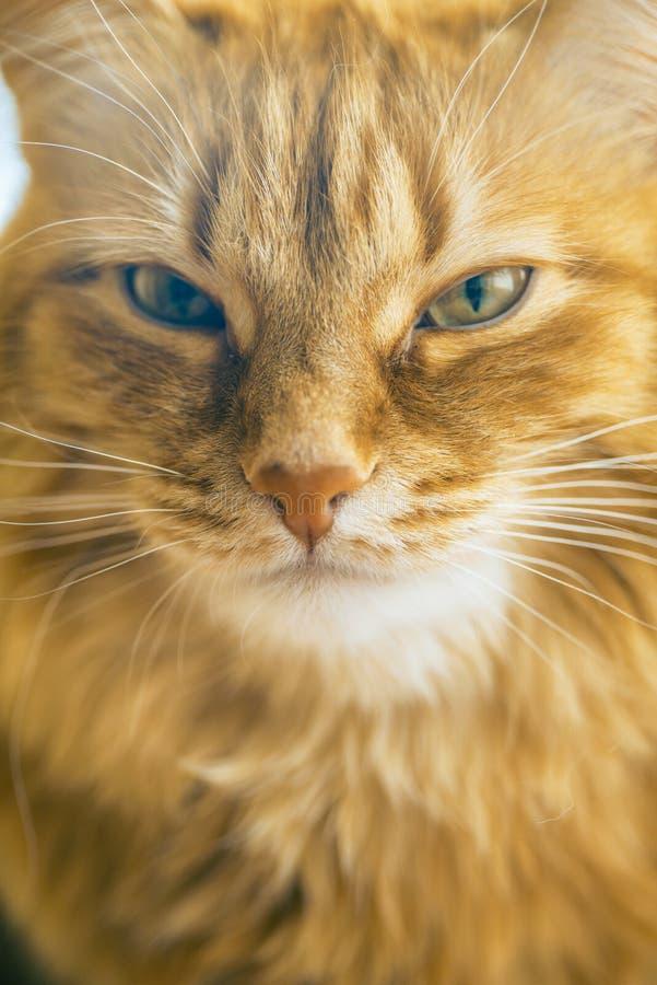 Red Cat Closeup stock photo