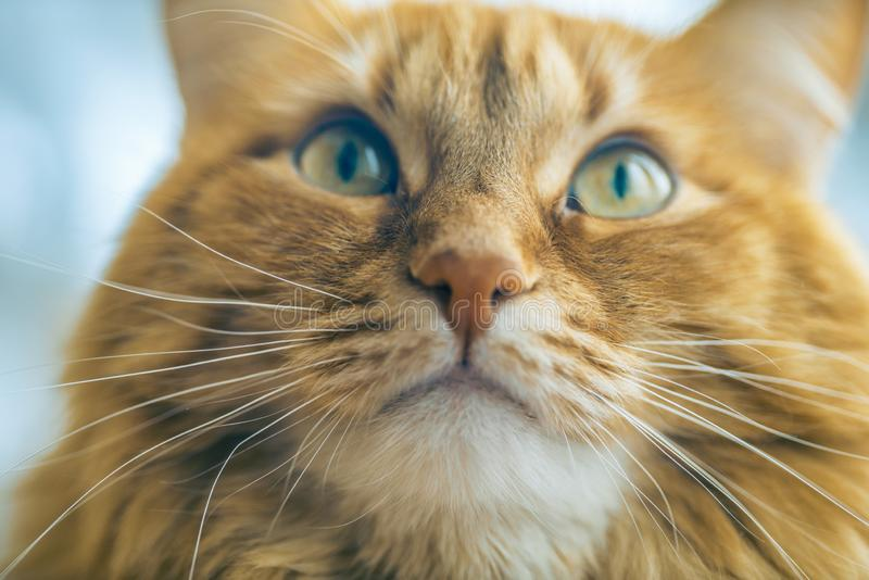 Red Cat Closeup royalty free stock photography