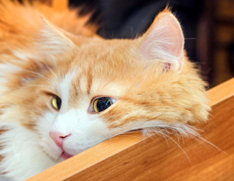 Red cat in drawer. Nice adult red cat in orange wooden table drawer royalty free stock photos
