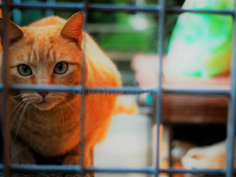 Red cat eyes. Red cat is looking in the camera royalty free stock photos