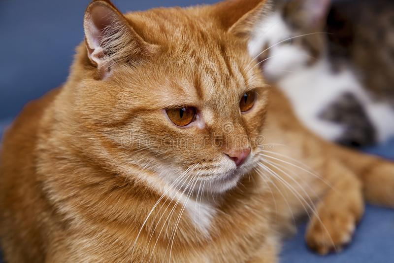 Red cat with a funny. Face and large round eyes lying on a blue bed royalty free stock photos