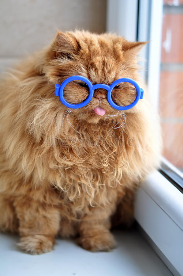 Red cat with glasses. Funny Persian red cat with glasses royalty free stock photography