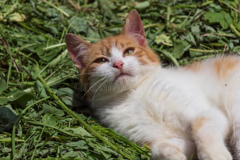 The red cat on the grass. The red cat lies on the beveled grass royalty free stock photos