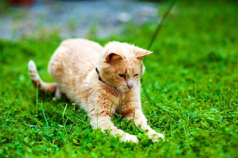 Red cat on green grass. Funny animals royalty free stock image