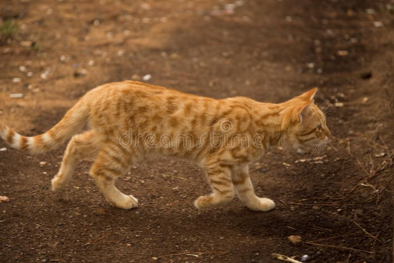 Red cat hunts in the village. Homeless beast outdoors on a Sunny day stock photography