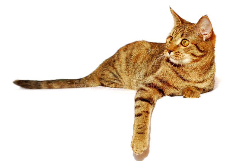 Red cat is isolated. On the white background stock image