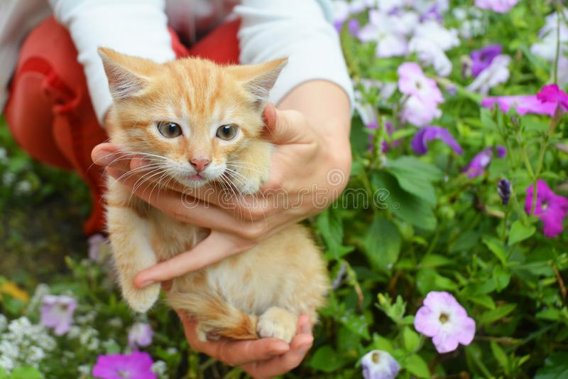 Red cat. Red kitten in girl hands royalty free stock photos