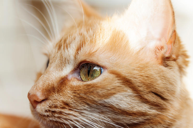 A red cat, a large portrait of the head, squinted in the sun, hi stock image