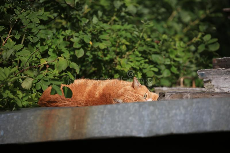 Red cat lazily lies on a roof against a background of foliage on a sunny day royalty free stock image