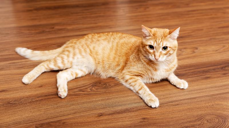 Red cat lies on the wooden floor. Angle view. Shallow focus stock image