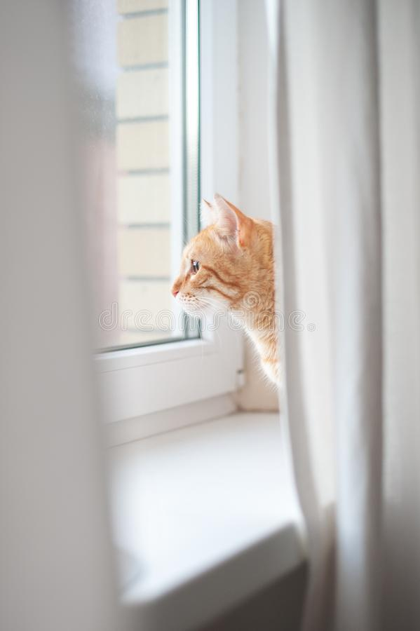 Red cat looking out the window royalty free stock photo
