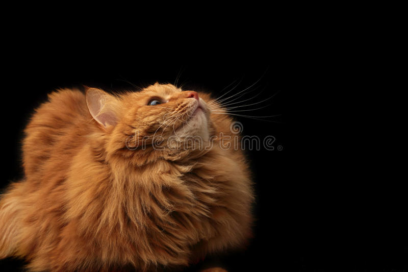 Download Red cat looking up stock photo. Image of background, striped - 27635876
