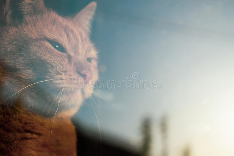 Red cat looking through the window. Serious piercing look. The cat is looking to the future royalty free stock image