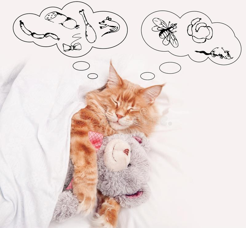 Red cat Maine Coon in bed with Teddy Bear royalty free stock photo