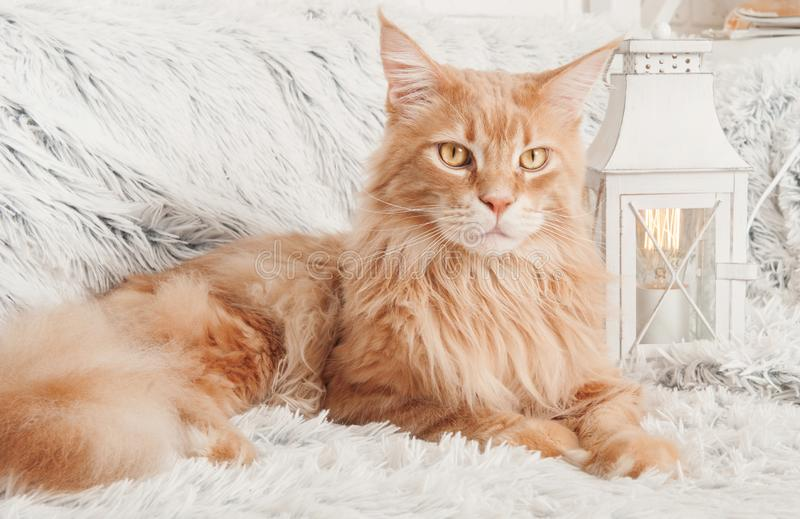 Maine Coon cat with books lying on the couch stock photography