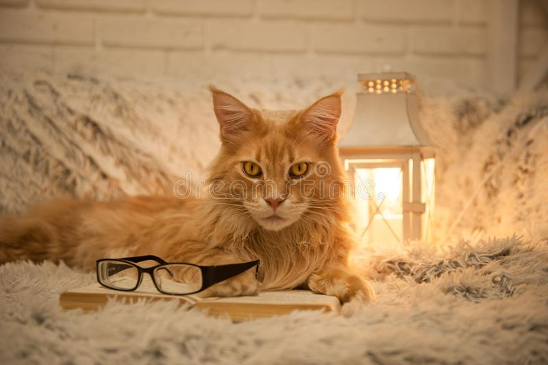 Maine Coon cat with books lying on the couch stock photo