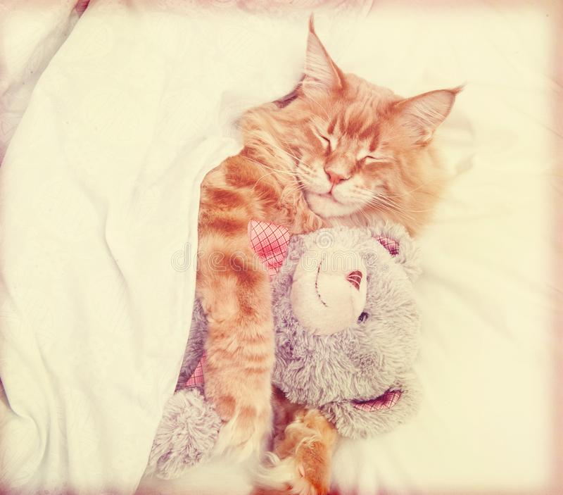Red cat Maine Coon in bed with Teddy Bear royalty free stock images