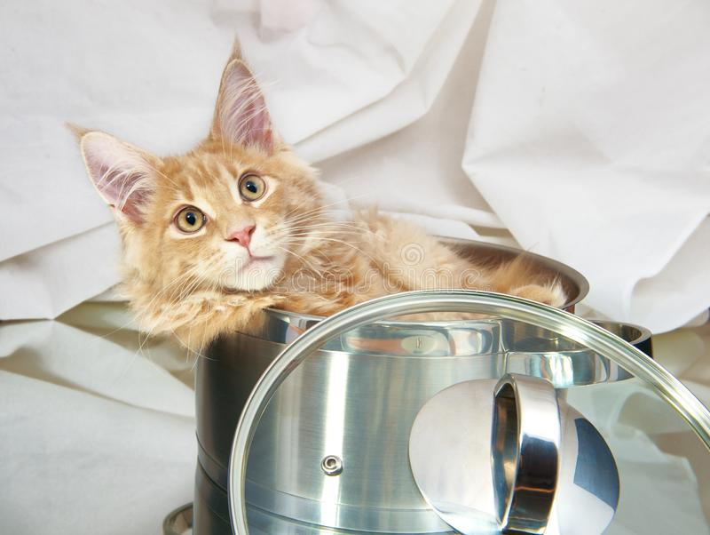 Cat Maine Coon in pan stock photo