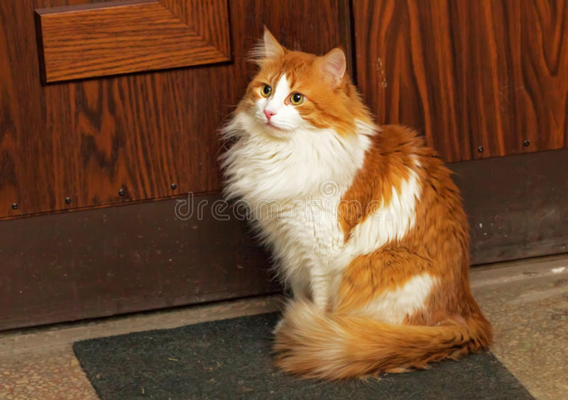 Red cat on mat near door. Nice red cat on mat by brown front door stock photography