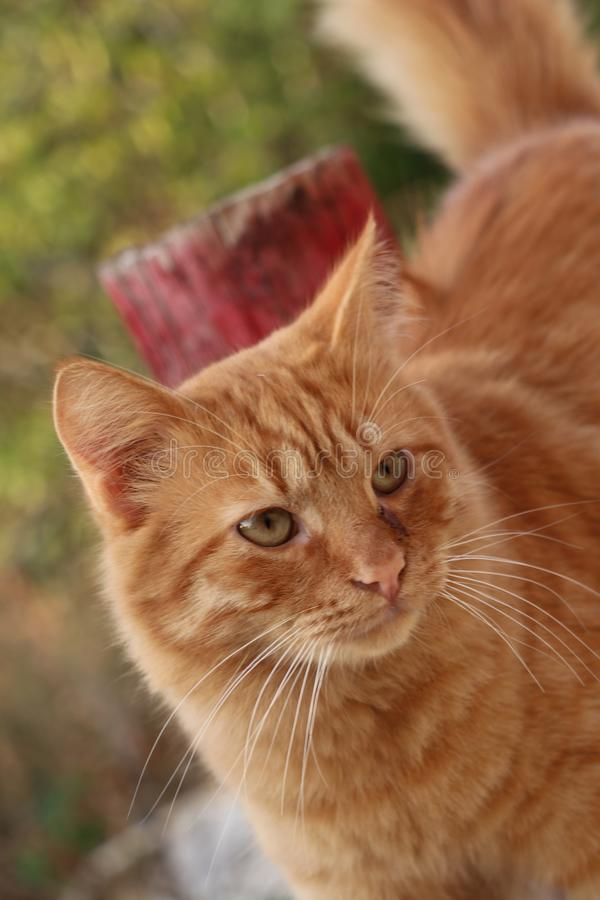 Red cat in Paphos, Cyprus. Red cat in paphos, whiskers, closeup stock photography