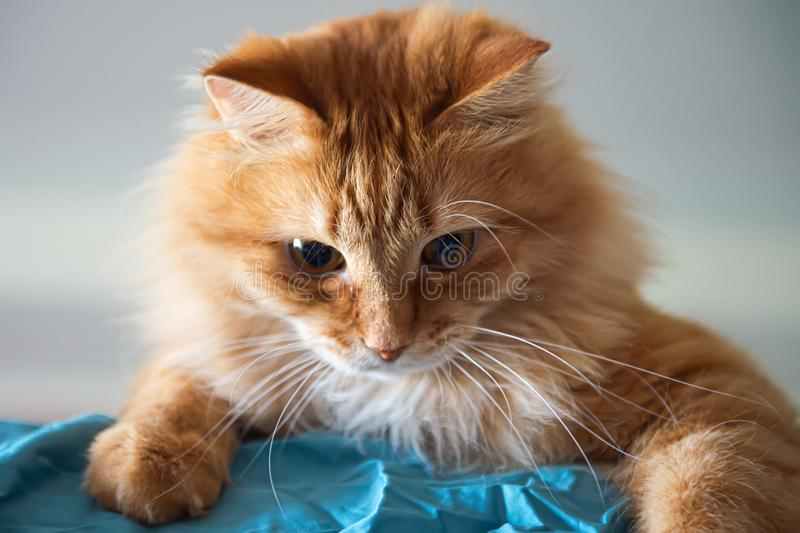 Red cat playing on the bed with blue bedsheet. look down. selective focus.  stock photo