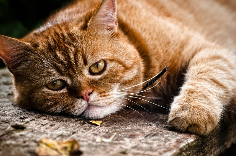 Download Red cat portrait stock image. Image of focus, champion - 19508689
