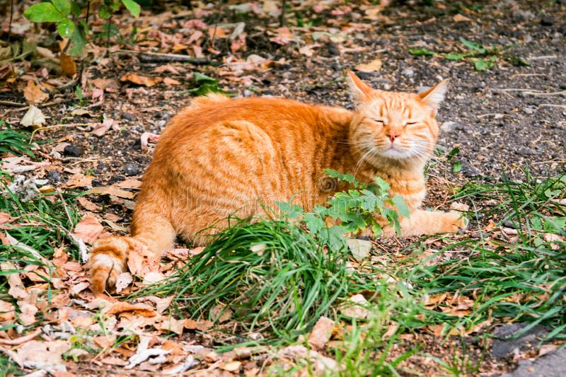 Red cat. Lies in the park on the autumn leaves and closed his eyes, raising the head stock photos