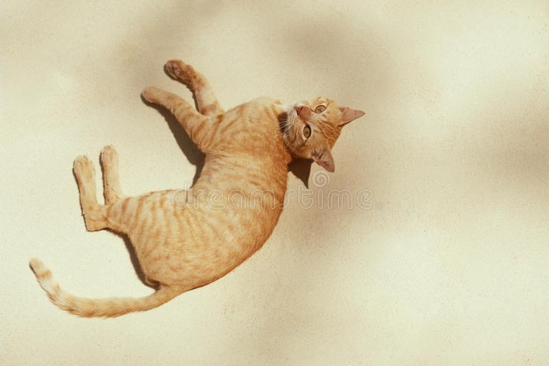 Red cat relaxing on sand beach in summer stock images
