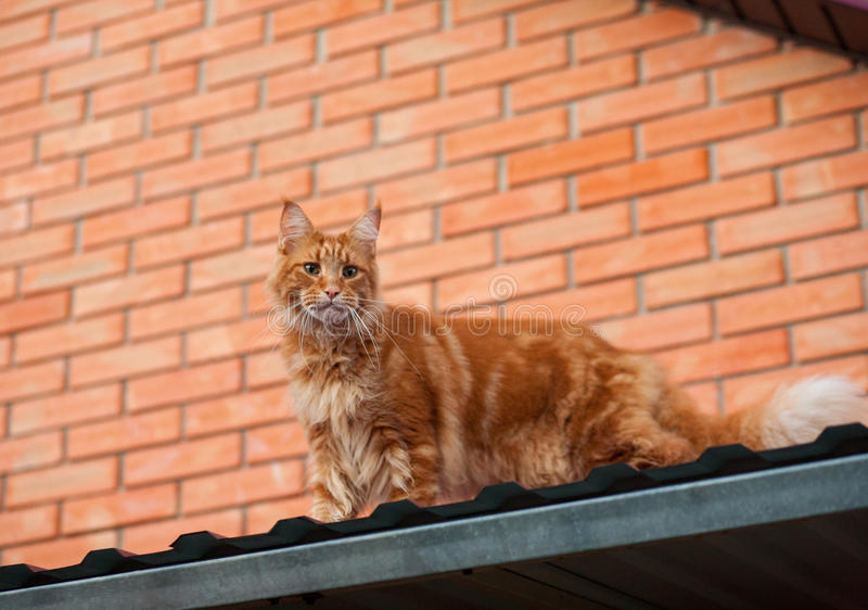 Red cat on the roof stock image
