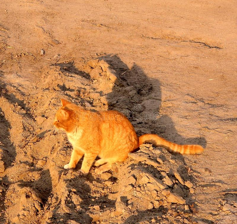 Red cat on the sand stock image
