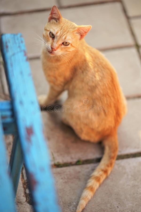 Red cat sitting outdoor near blue wooden bench royalty free stock image